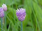 Chive Flower by Susan S. Kline