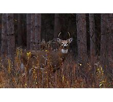 Deep Woods Buck - White-tailed Deer Photographic Print