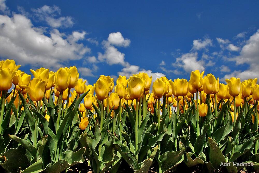 Tulipmania in Holland 2 by Adri  Padmos