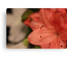 Peach Azalea Canvas Print