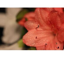 Peach Azalea Photographic Print