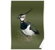 Northern Lapwing Study Poster