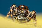 Jumping spider with prey by Mario Cehulic