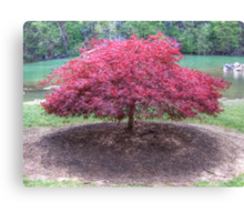 Red Laceleaf Japanese Maple Canvas Print