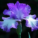 Iris by Janice Carter
