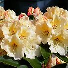 Yellow and Pink Rododendron by LoneAngel