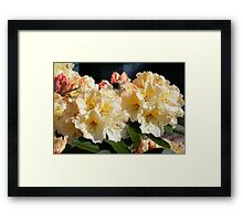 Yellow and Pink Rododendron Framed Print