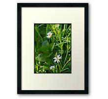 Greater Stitchwort (Stellaria) Framed Print