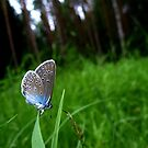 The Amanda's Blue butterfly by Orangic