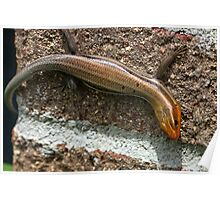 Male Five Lined Skink Poster