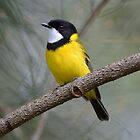 Golden Whistler (Male) taken at Cattai Wetland by Alwyn Simple