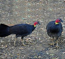 Australian Brush-turkey taken at Ellenborough Falls NSW. by Alwyn Simple