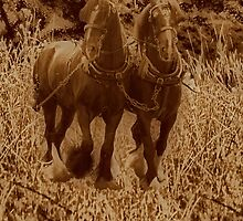 Shirehorses ready for ploughing by Avril Harris