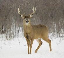 Buck by SandraWidner