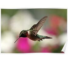 Spring Hummingbird... Poster