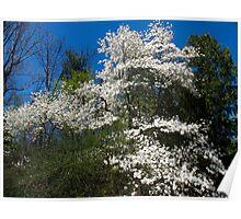White Magnolia Tree Poster