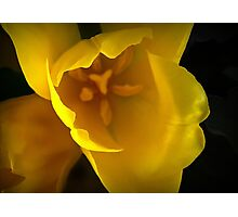 The Translucency of Tulips Photographic Print