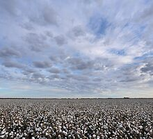Cotton Field by Mark Cooper