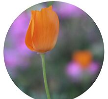 California Poppy by walksimply