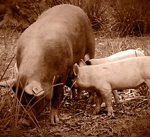 Mama Pig and her Babies by Clare Colins