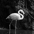 Flamingo by BBCsImagery
