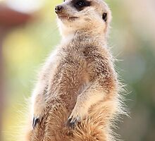 Im just a meercat by BBCsImagery