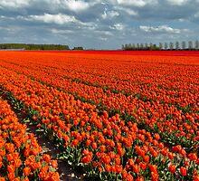 Tulipmania in Holland 3 by Adri  Padmos