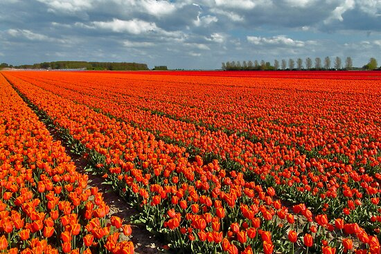Tulipmania in Holland 3 by Adri  Padmos