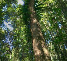 Red Cedar , Dorrigo National Park, NSW by Adrian Paul