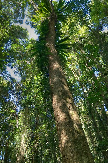 Red Cedar , Dorrigo National Park, NSW by Adrian Paul