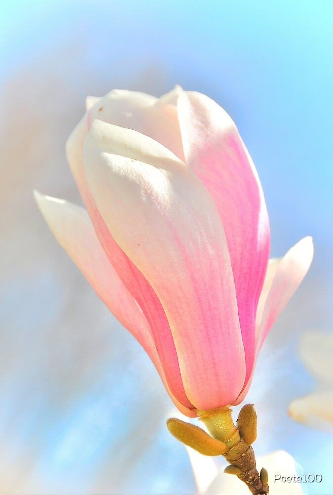 Magical Magnolia by Poete100