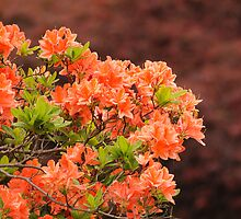 Peach Profusion Amid a World of Brick Red by Wolf Read