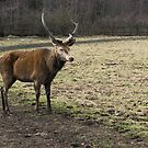 Lone Stag by George Davidson
