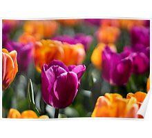 Purple Tulip 2 Poster