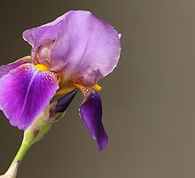 Portrait of an Iris by Wolf Read