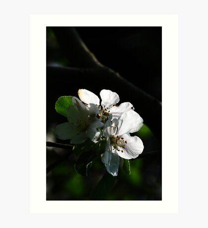 old apple tree 1 Art Print
