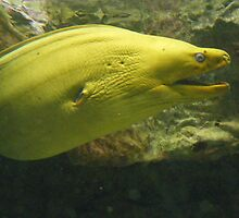 Yellow Eel. by islandphotoguy