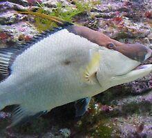 Cow Fish  by islandphotoguy