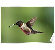 Ruby throated Hummingbird. Poster
