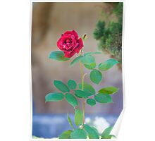 cloister rose Poster