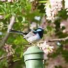 &#x27;Superb Blue Wren&#x27; male. Garden, &#x27;Arilka&#x27; Mt. Pleasant. S.A. by Rita Blom