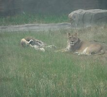 Just Lion Around by Ryan Eberhart
