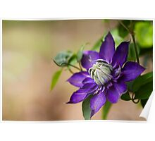 Clematis Purple Poster