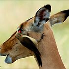 OUTCH! THAT'S MY EYE ! IMPALA – Aepyceros melampus melampus - *ROOIBOK* by Magaret Meintjes