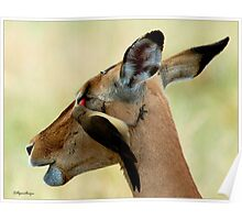 OUTCH! THAT'S MY EYE ! IMPALA – Aepyceros melampus melampus - *ROOIBOK* Poster