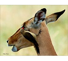 OUTCH! THAT'S MY EYE ! IMPALA – Aepyceros melampus melampus - *ROOIBOK* Photographic Print