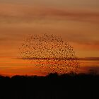 Murmuration by Sally Barnett
