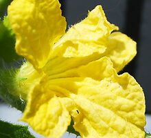 Yellow Melon Flower by TinaGraphics