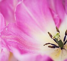 Pink Tulip. The Tulips of Holland by JennyRainbow