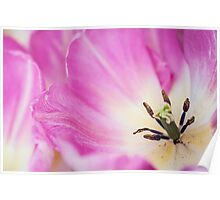 Pink Tulip. The Tulips of Holland Poster